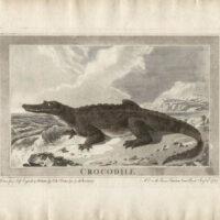 Crocodile, Animals Drawn from Nature