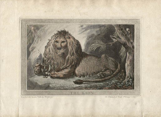 Lion, Animals Drawn from Nature