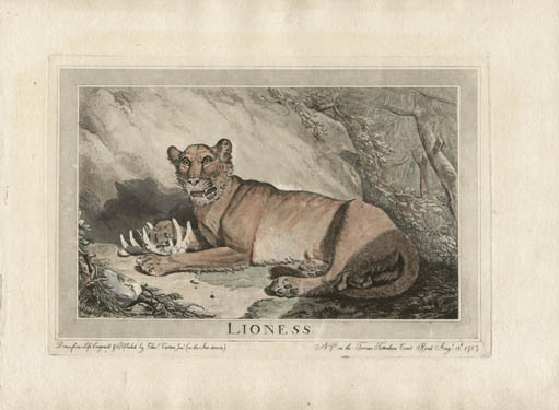 Lioness, Animals Drawn from Nature