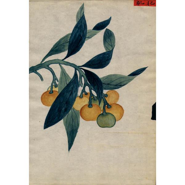 Chinese Export Botanical Painting, Fruit