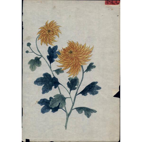 Chinese Export Botanical Painting, Chrysanthemums