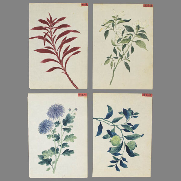 Chinese Export Botanical Paintings
