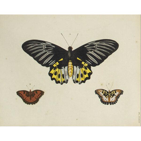 Butterfly Studies from Papillons Exotiques des Trois parties du Monde: l'Asie, l'Afrique et l'Amerique