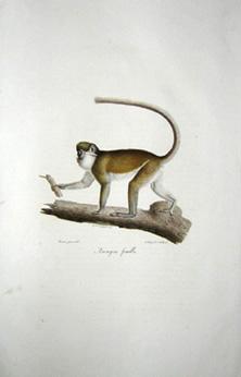 Ascagne Female