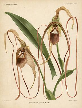 Cypripedium caudatum. Ldl.