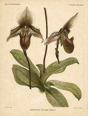 Cypripedium ciliolaré. Rchb. F.