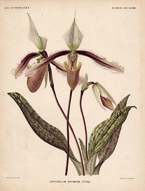 Cypripedium dayanum. Stone.