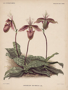 Cypripedium purpuratum. Ldl.