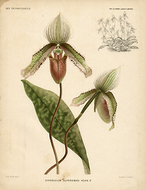 Cypripedium superbiens. Rchb. F.