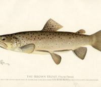 The Brown Trout