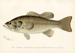 The Large-Mouthed Black Bass [Micropterus Salmoides] (Sold)