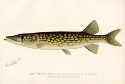 The Pickerel. From a pond in Massachusetts . [Lucius Reticulatus. Le Sueur.]