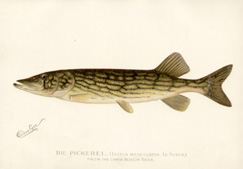 The Pickerel. From the Upper Hudson River . [Lucius Reticulatus. Le Sueur.]