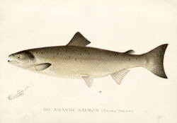 The Atlantic Salmon [Salmo Salar]