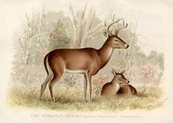 The Virginia Deer
