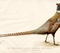The Mongolian or Ring-Necked Pheasant [Phasius Torquatus]