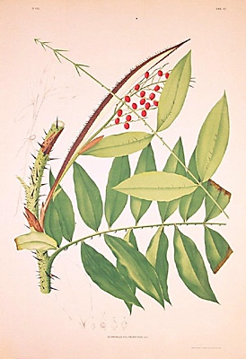 Desmoncus polyacanthus