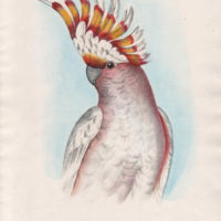 Leadbeater's Cockatoo by Silvester Diggles