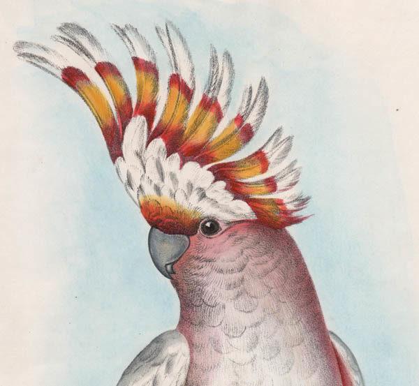 Natural History Art, Birds, Australian Cockatoo, Silvester