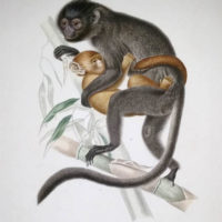 Silvered Leaf Monkey - Mother and Child