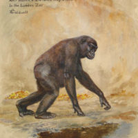 Life-Study of a Young Female Gorilla