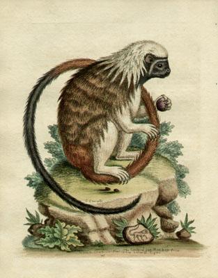 Le Petit Singe-Kion a Tete grise, Plate 195
