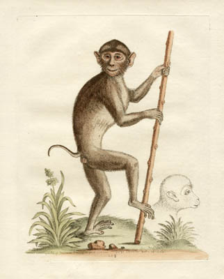 The Pig Tailed Monkey, Plate 214
