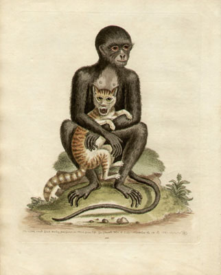 The Middle-sized Black Monkey, Plate 311