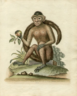 The Bush-tailed Monkey, Plate 312