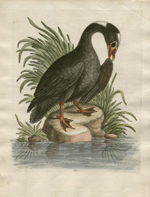 The Great Black Duck from Hudson's Bay, 1749, Plate 155