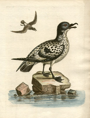 The White and Black Spotted Peteril, and the Little Peteril, Plate 90