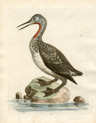 The Red-Throated Loon from Greenland Published September 1743, Plate 97