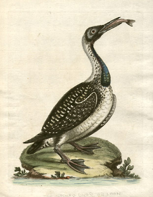 The Speckled Diver or Loon