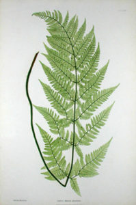 Nature Printed Fern