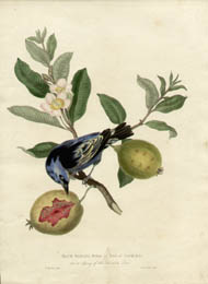Blue Banana Bird at Rio de Janeiro on a sprig of the Guava Tree