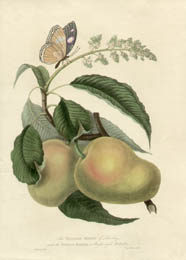 Mazagon Mango of Bombay and Papilio Bolina
