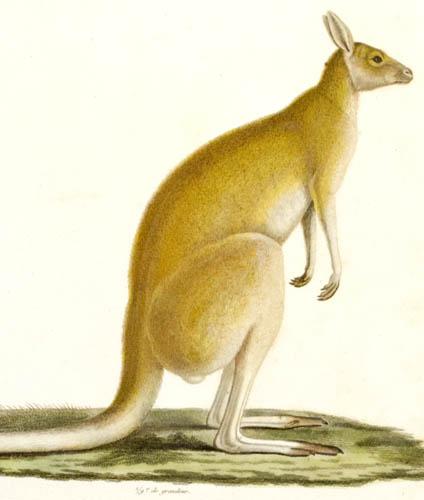 Kanguroo Laineux, detail