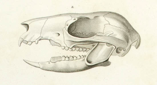 Potoroo White, Male, detail