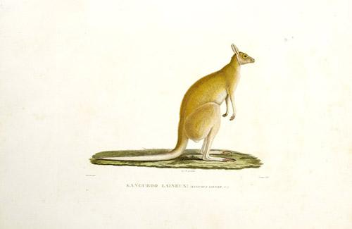 Kanguroo Laineux