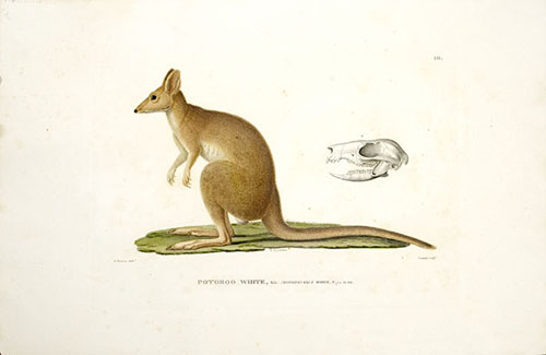 Potoroo White, Male