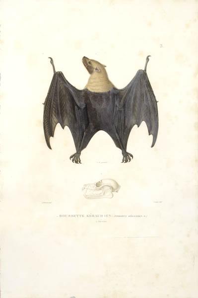Roussette Kéraudren [Mariana Fruit Bat]