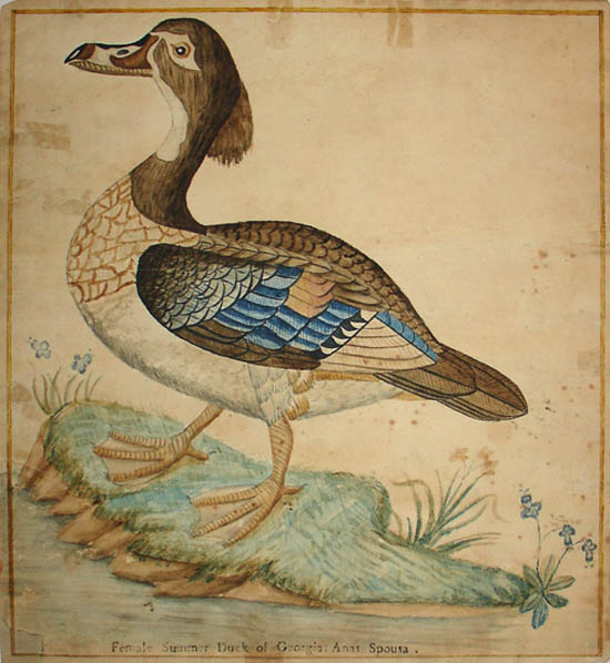 Female Summer Duck of Georgia: Anas Sponsa
