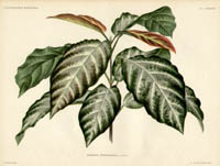 Foliage   from L'Illustration Horticole