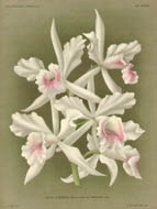 Orchids from L'Illustration Horticole