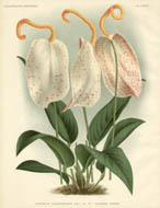 Anthuriums from L'Illustration Horticole