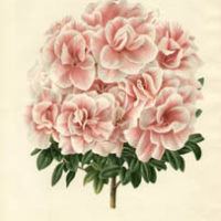 Azaleas from L'Illustration Horticole