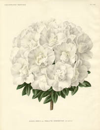 Azaleas from L'Illustration Horticole
