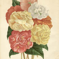 Begonias from L'Illustration Horticole