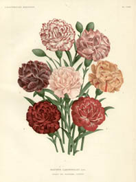 Carnations from L'Illustration Horticole