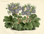 Garden Flowers from L'Illustration Horticole